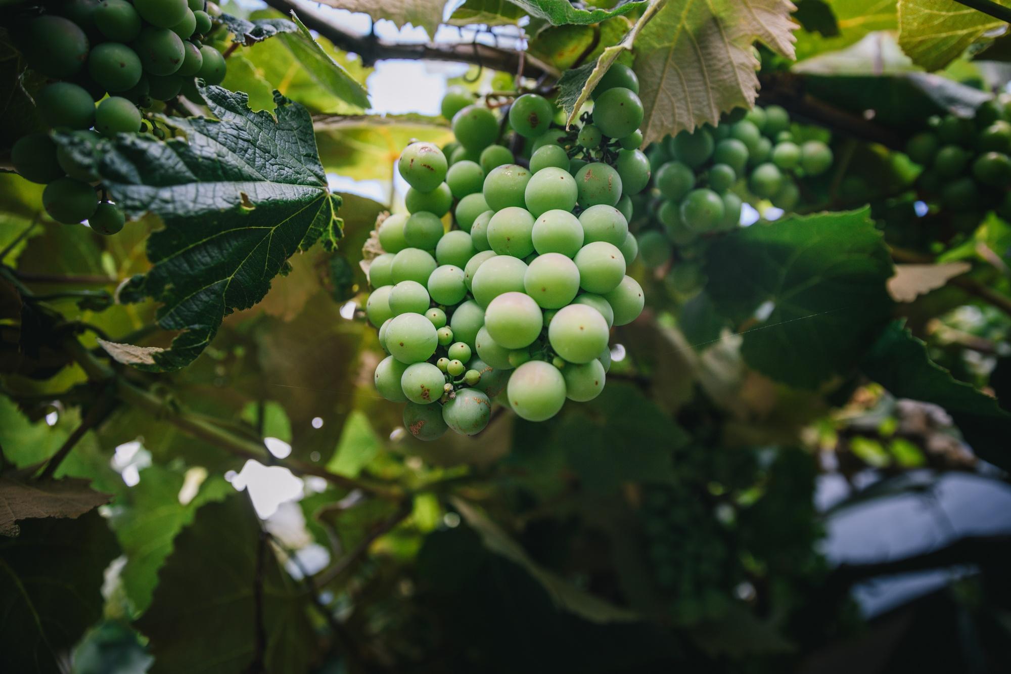 vineyards of north canterbury